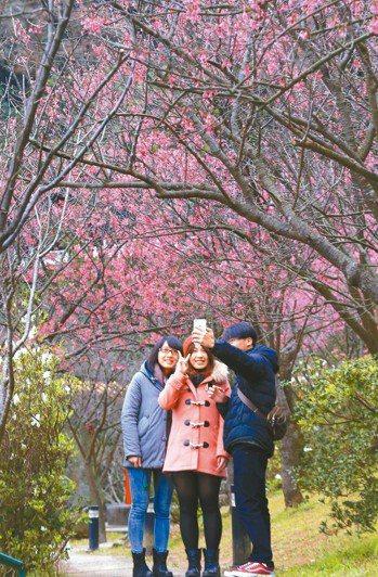 陽明山花季明天登場到3月17日止。 報系資料照
