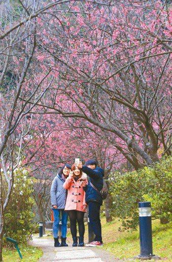 陽明山花季明天登場到3月17日止。 圖/聯合報系資料照片