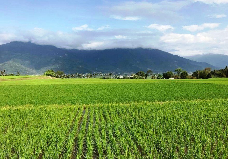 農民辛苦栽種的田地位於台東關山半山腰。 圖片提供/范逸嫻