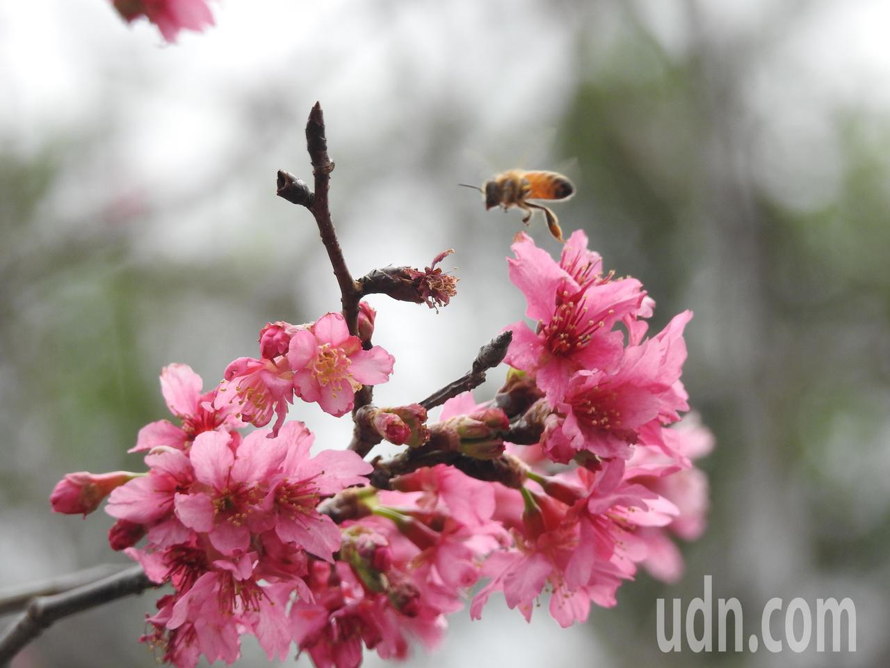 南投縣埔里鎮暨大種植上千棵台灣山櫻花和日本八重櫻,目前進入最佳賞花期。記者賴香珊...