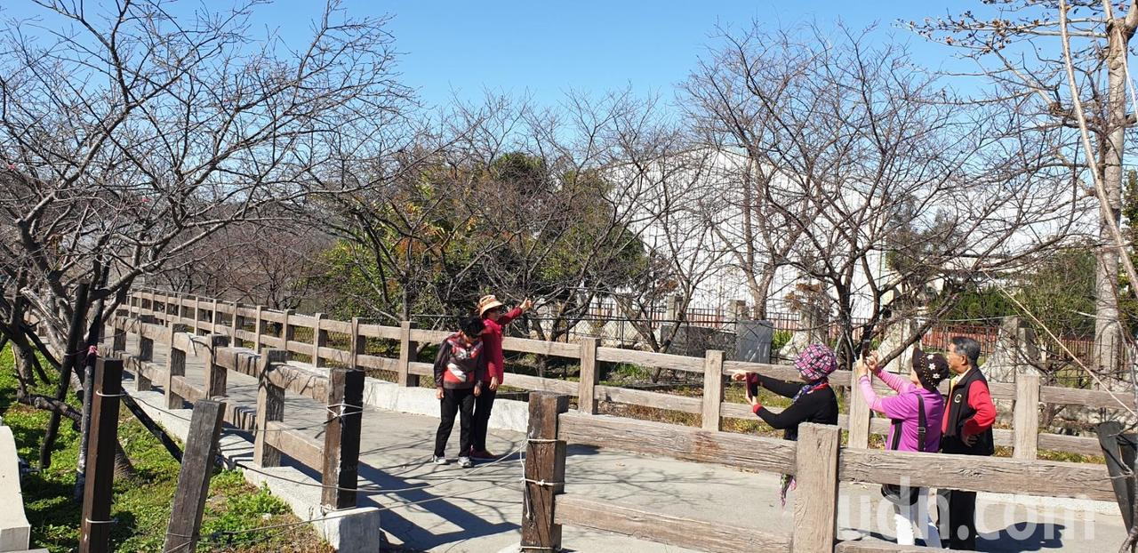 后里泰安櫻花季16日將登場,目前花況少,仍有遊客先到場賞花拍照。記者游振昇/攝影