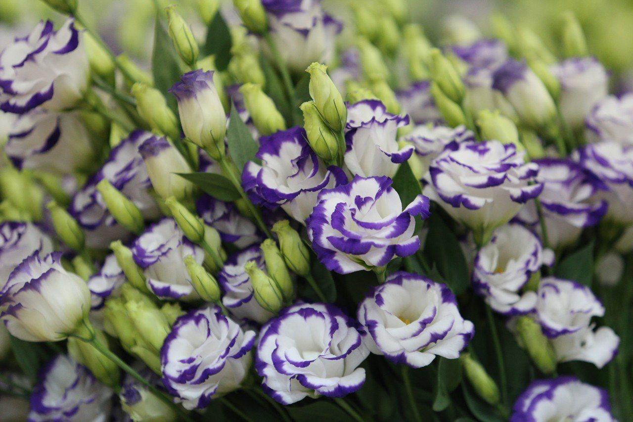 花姿招展的洋桔梗適合情人節送花。記者謝恩得/翻攝