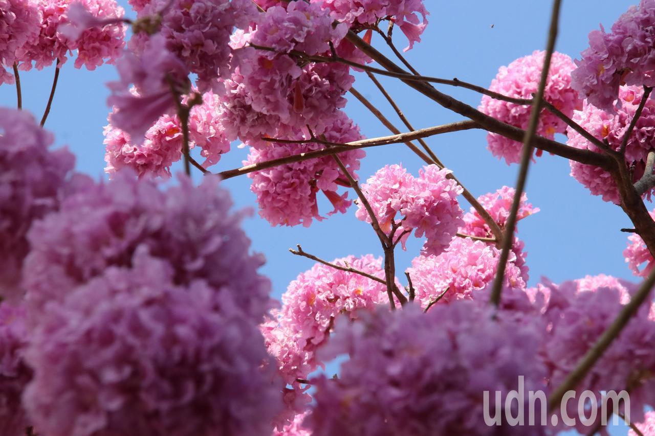 天氣回暖,不讓櫻花專美於前,南台灣風鈴木盛開。記者綦守鈺/攝影