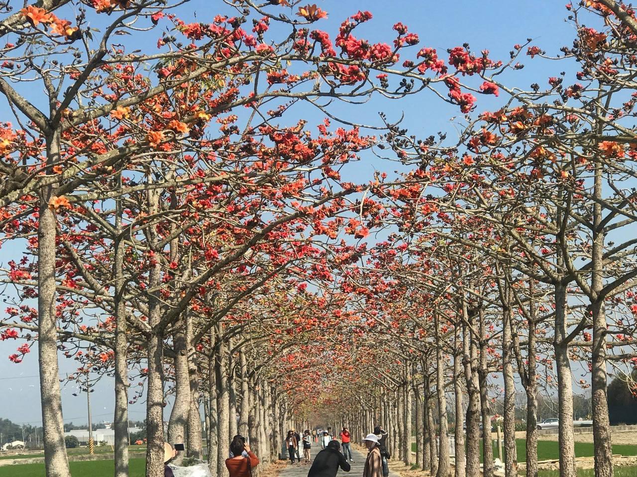 號稱全球最美花道的台南白河林初埤木棉花道,今年受到暖冬影響,木棉花提早綻放。圖/...