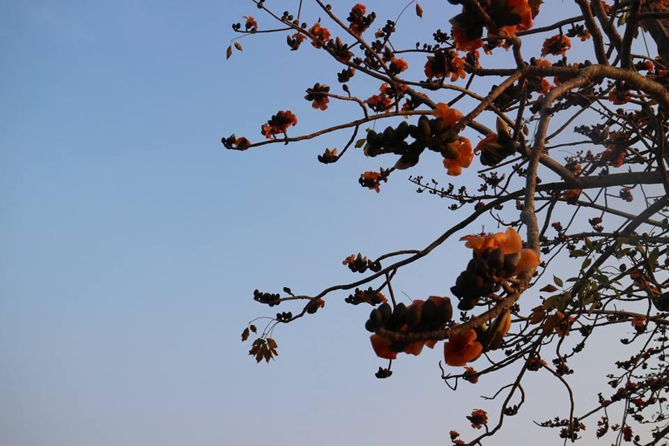 木棉花目前花況已開花達7成。圖/摘自白河區公所粉絲專頁