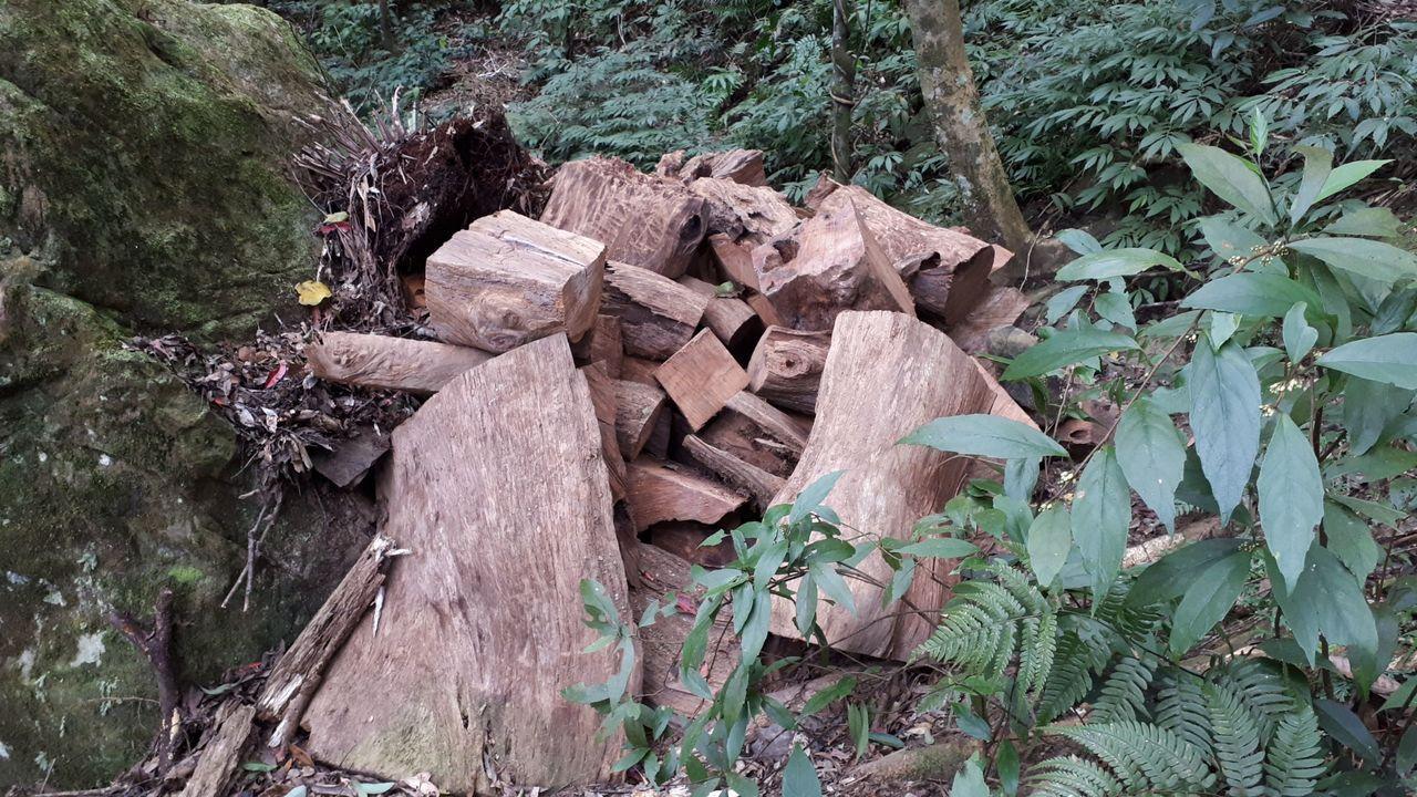 珍貴樹材肖楠遭山老鼠盜伐,百年才能生成的林蔭毀於一旦,新北地檢署掌握情資後,與新...