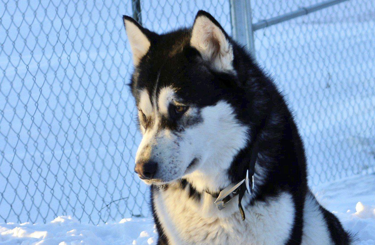 美國明尼蘇達州一隻名為「唐納.川普」的雪橇犬10日遭射殺。美聯社