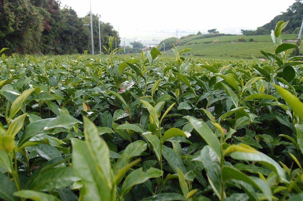 游田到日本靜岡縣,拍下專門提供天皇茶葉的百年茶園。圖/游田提供