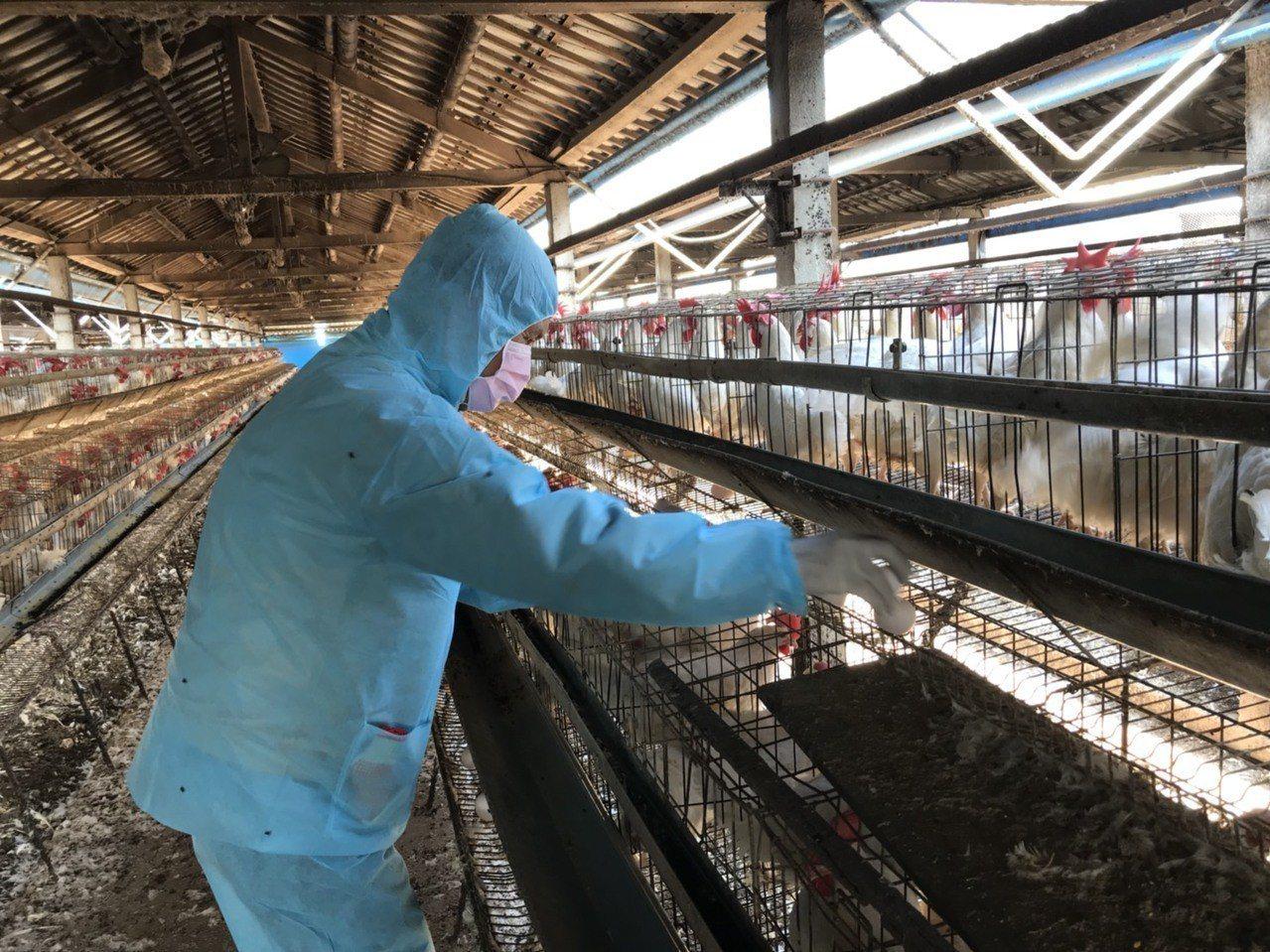 彰化縣動物防疫所人員2月13日上午到順弘牧場第二度採樣後,送中央畜產會複驗。照片...
