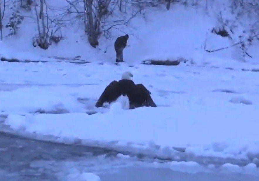 一隻老鷹2月初尾翼結冰飛不起來,受困於密西根湖上。截自KenScottPhoto...
