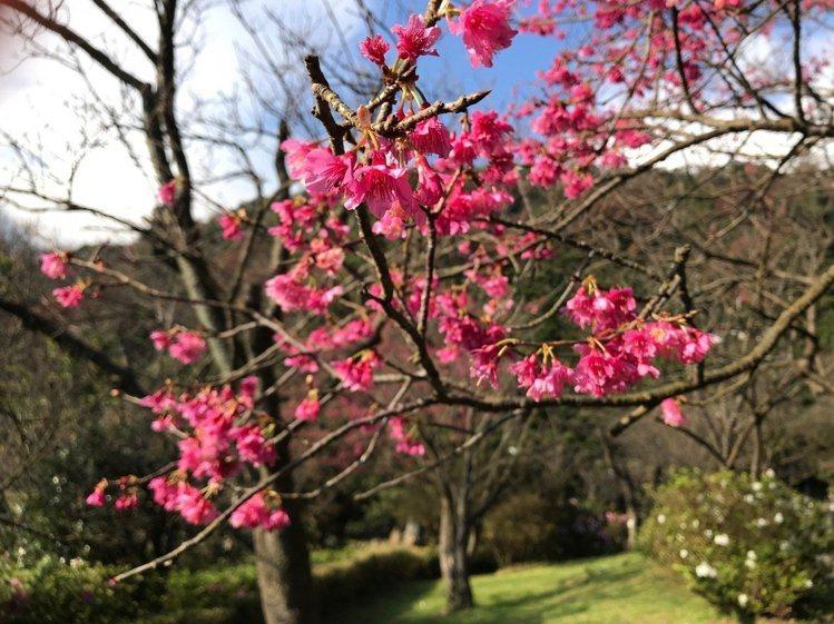 陽明山山櫻花目前花況已開9成,之後陸續有其他櫻花接力開。圖/公園處提供