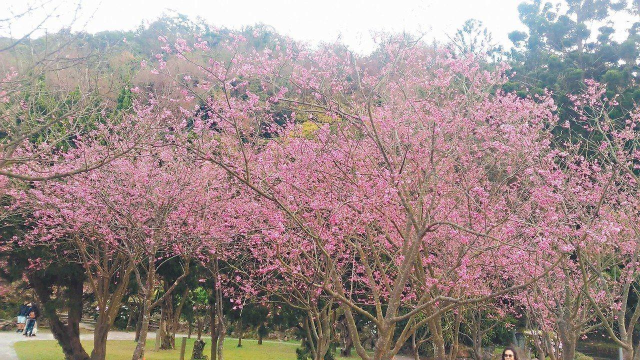 陽明公園的八重櫻也盛開。 圖/公園處提供