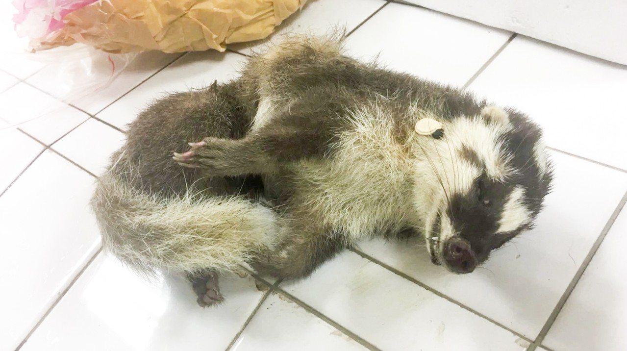 據防檢局統計,去年全國共檢驗出110起鼬獾感染狂犬病案例,其中花蓮有52例,佔近...