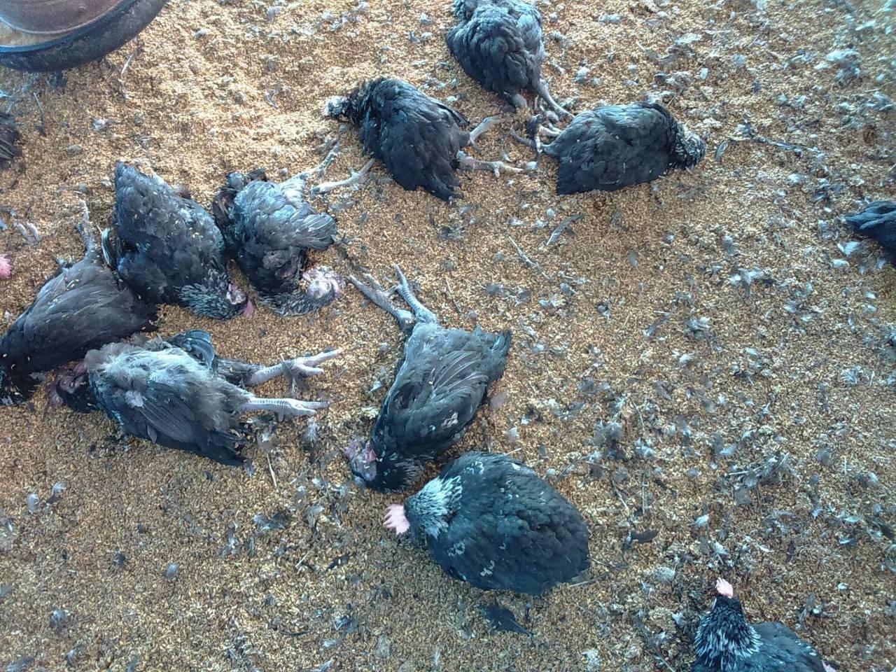 大城鄉有1家土雞場飼養的土雞大量暴斃,農委會家畜衛生試驗所17日確診感染H5N2...