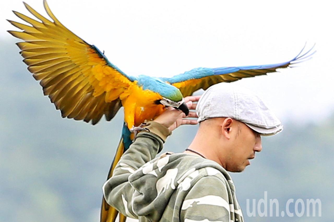 聰明伶俐,羽色鮮艷靚麗的金剛鸚鵡,喜愛親近人。記者侯永全/攝影