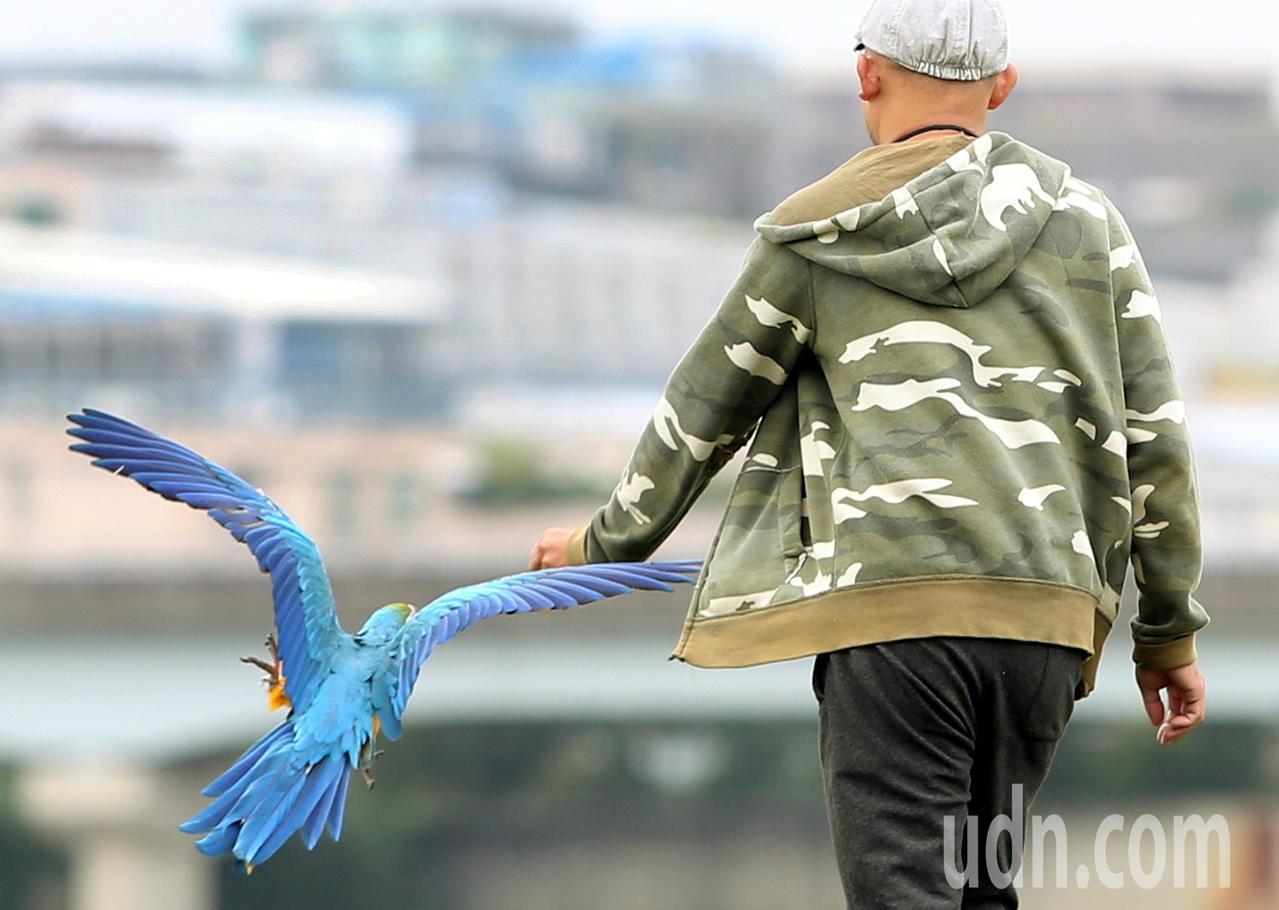 趁好天氣,有民眾在觀山河濱公園遛金剛鸚鵡。記者侯永全/攝影