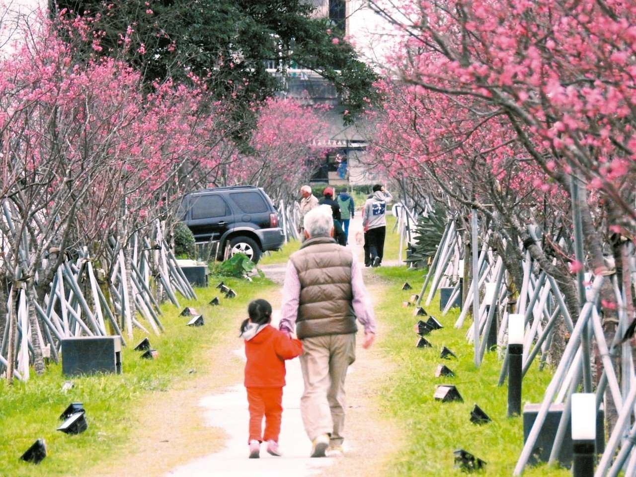 羅莊櫻花步道位於平地市區,徜徉櫻花樹下,老人小孩都開心。 記者戴永華/攝影
