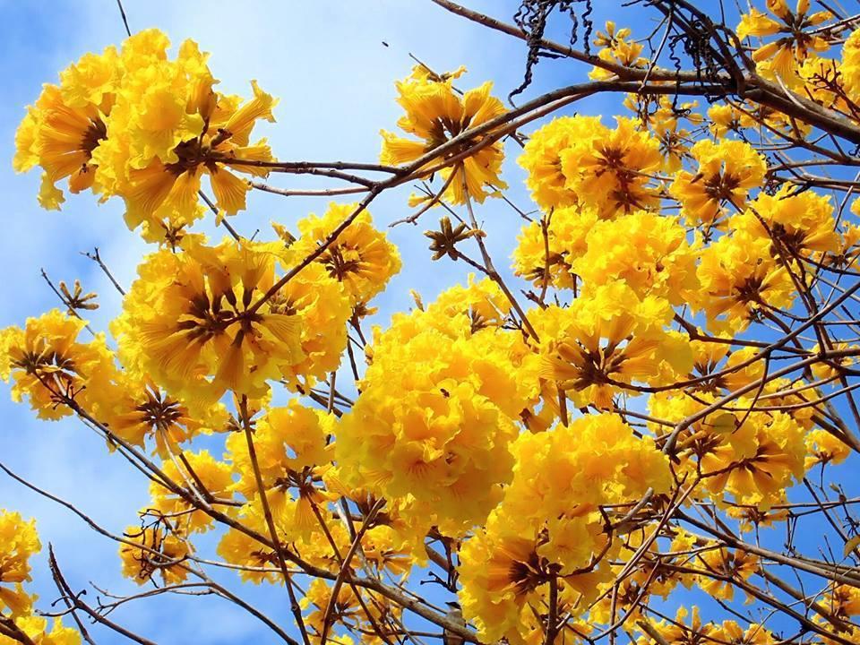 圖/黃澄澄花朵點綴藍色天空,落花紛飛時,彷彿下起黃金雨,拍照很是鮮豔。網友:L...