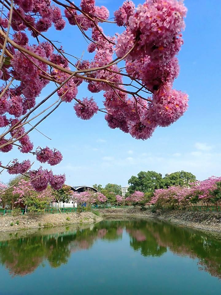 圖/草屯植物園。洋紅風鈴木在湖水倒影如夢似幻。網友:Liao Chin Chi...