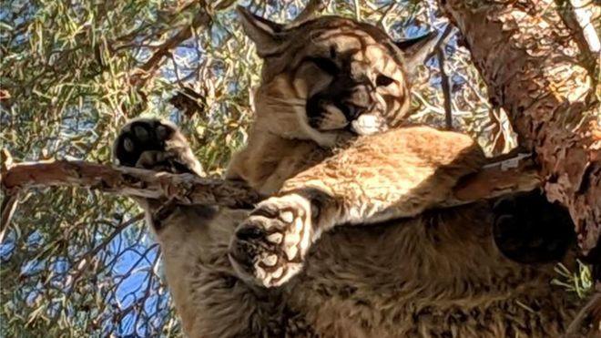 生物學家凱文‧布倫南認為,該美洲獅可能是在嘗試建立自己的領地。 圖擷自BBC