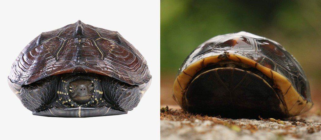 左:一般烏龜縮頭,右:閉殼龜屬(食蛇龜)。 圖片來源/pngtree、國道.石虎...