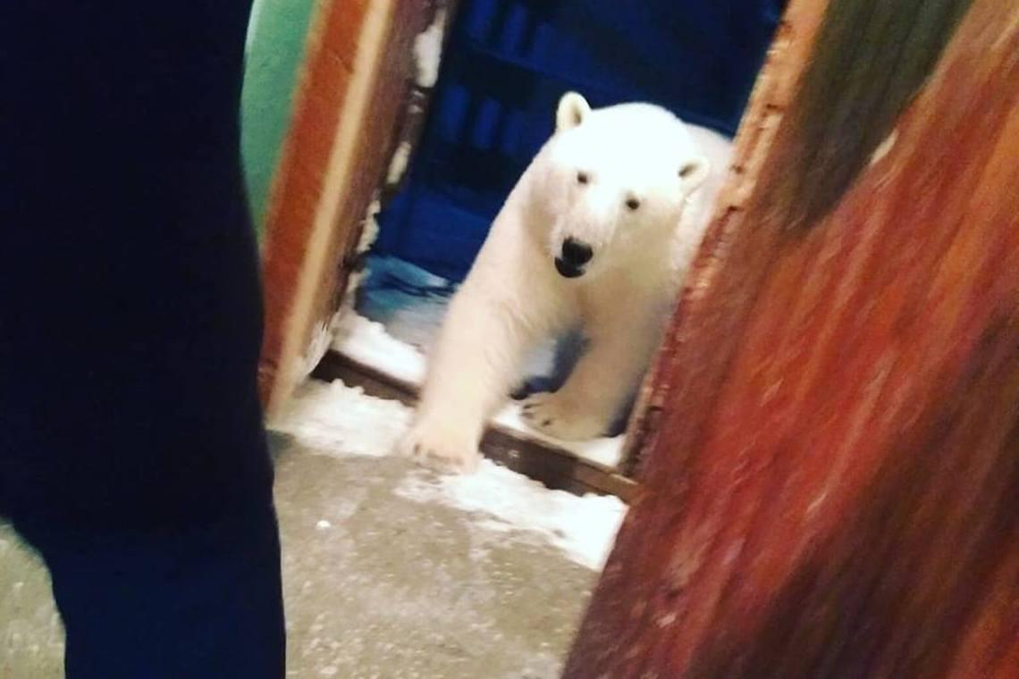 俄羅斯西北的極圈之地「新地島」,自2月9日起即傳出北極熊成群南下、侵入人類聚落覓...