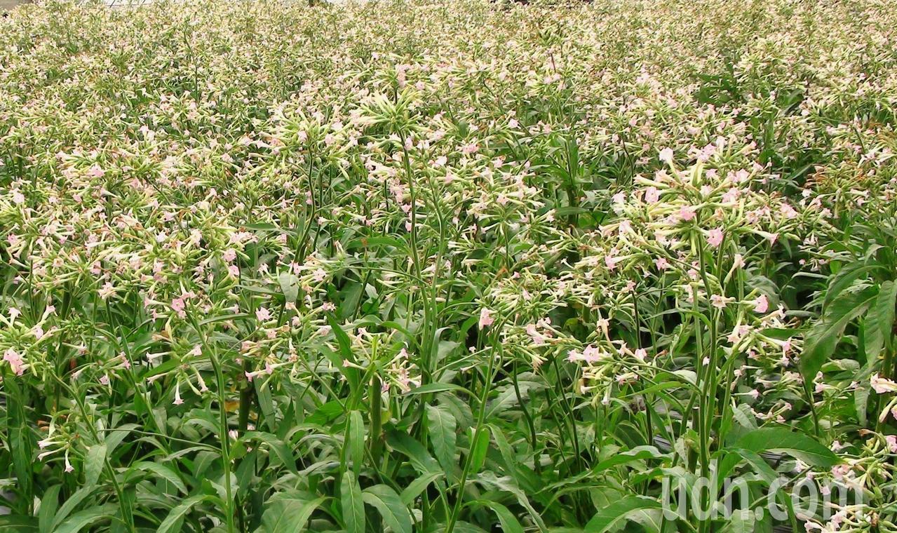 攝影家魏三峰栽種菸葉,全程記錄從植苗到採收、烘葉,甚至整園的滿開菸花。記者謝恩得...