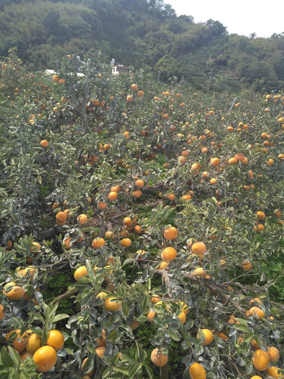東勢山城仍有不少柑橘未採收。記者陳秋雲/攝影