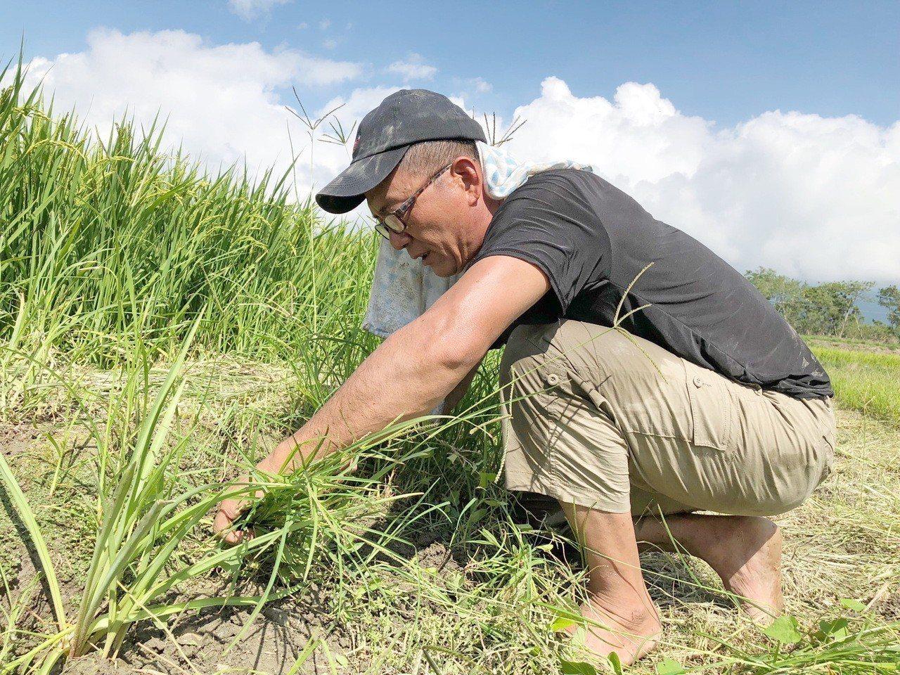 許宴國揮汗在晚香玉花田間整理植株。圖/許宴國提供