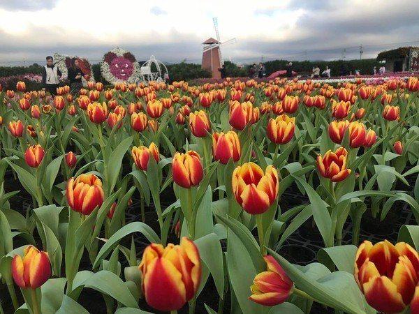 中社觀光花是鬱金香季預計3月20日左右結束。圖/摘自中社觀光花市官網