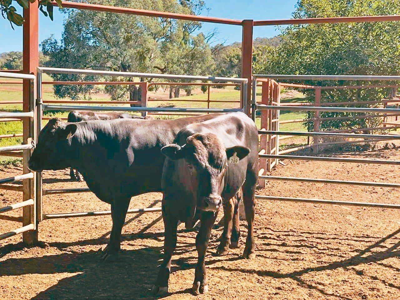 繼進口澳洲安格斯肉牛後,台灣牧場再突破,日前到澳洲選購具有血統證明的澳洲和牛,預...