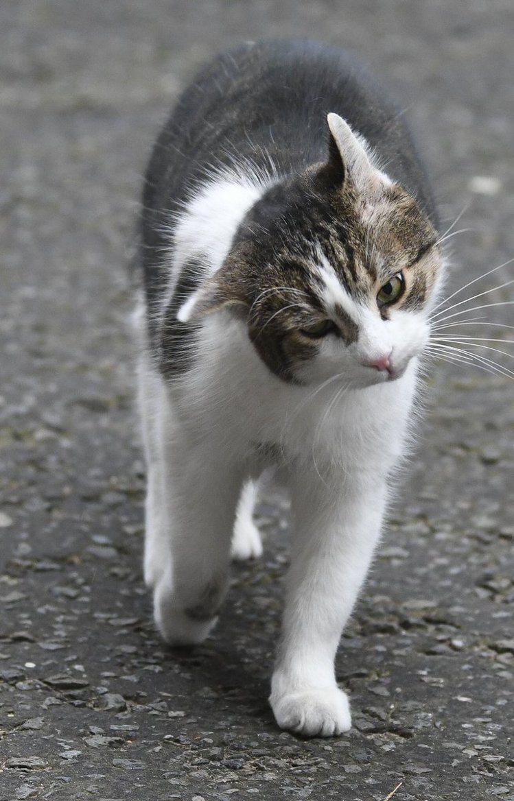 唐寧街10號的賴瑞針對脫歐發表意見。圖/擷自Larry the Cat推特