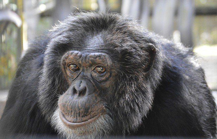 麥克傑克森的黑猩猩「泡泡」。圖/截自Wendy Rhodes推特