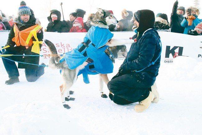 Yukon Quest國際狗拉雪橇大賽,是每年冬季育空地區最大的盛會。 圖/游慧...