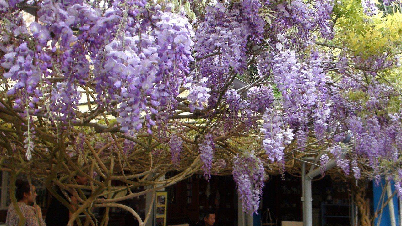 阿喜紫藤去年花季盛開情景。記者謝恩得/攝影