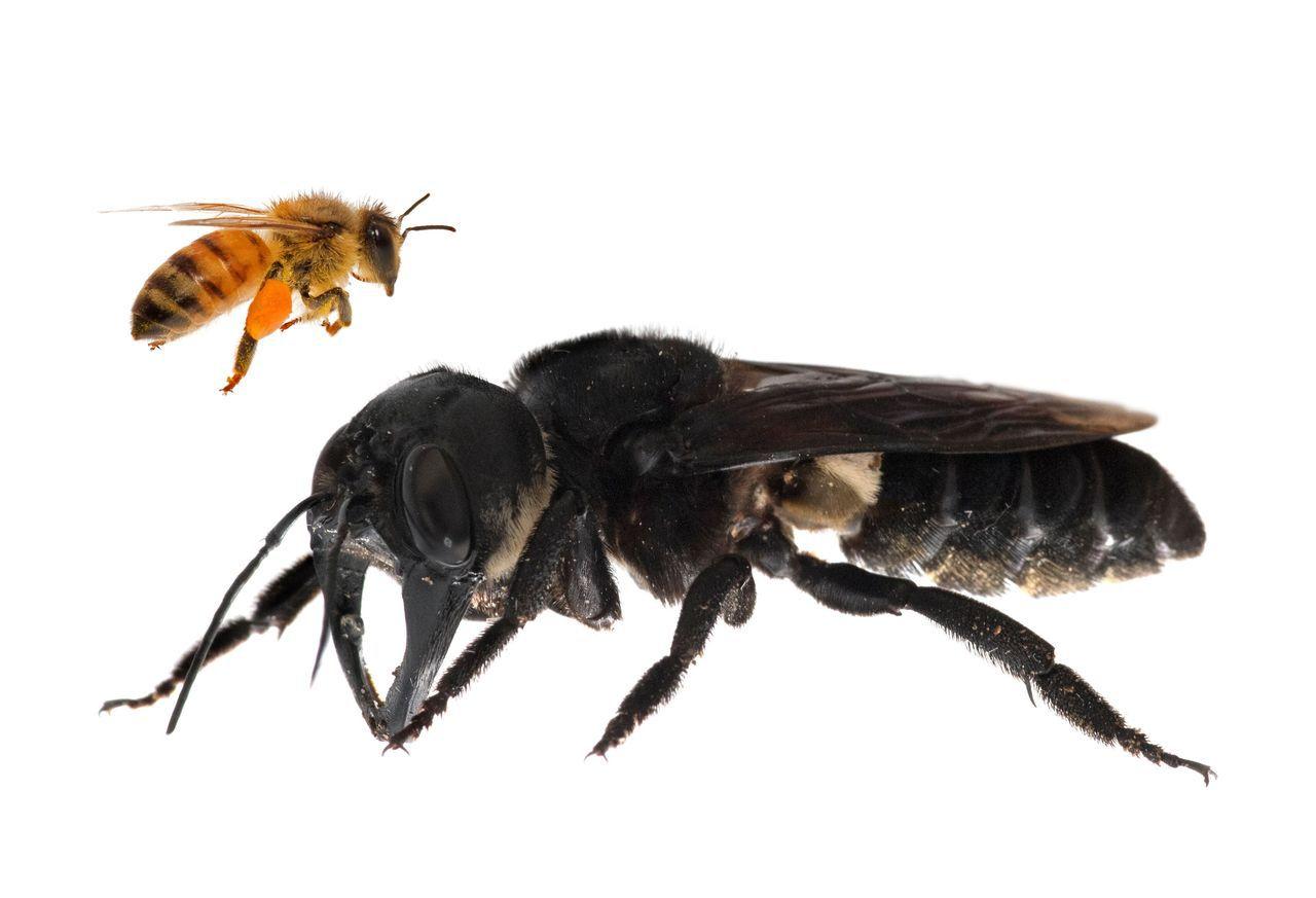 華萊士巨蜂的體型約是一般歐洲蜜蜂(左上)的4倍。(法新社)