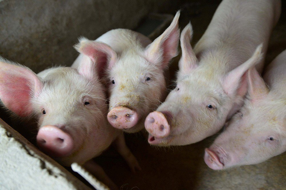 非洲豬瘟中央災害應變中心表示,日前又從中國豬肉製品中驗出3例非洲豬瘟病毒基因,總...