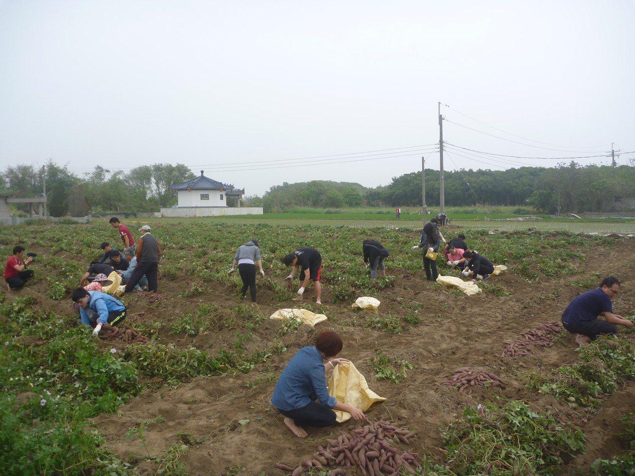 紫地瓜販售所得將做為社區關懷老人經費。圖/柴林腳基金會提供