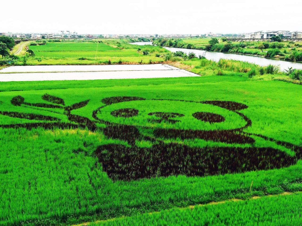 宜蘭縣壯圍鄉公所去年推出彩繪稻田,稻田裡長出貓熊,壯觀美麗。資料照片/記者羅建旺...