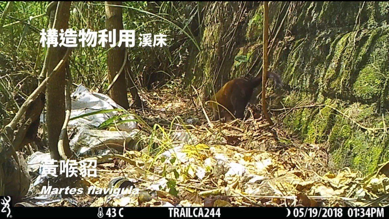 花蓮林管處去年記錄到黃喉貂現身平森園區裡的溪流,藉由草叢與喬木掩護移動。圖/林管...
