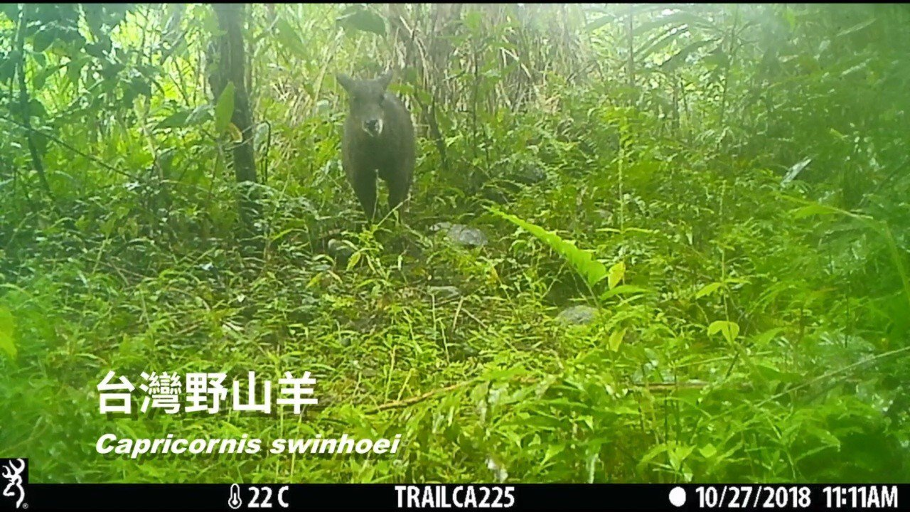 花蓮林管處近日又在平森園區記錄到以往在山區出沒的台灣野山羊。圖/林管處提供
