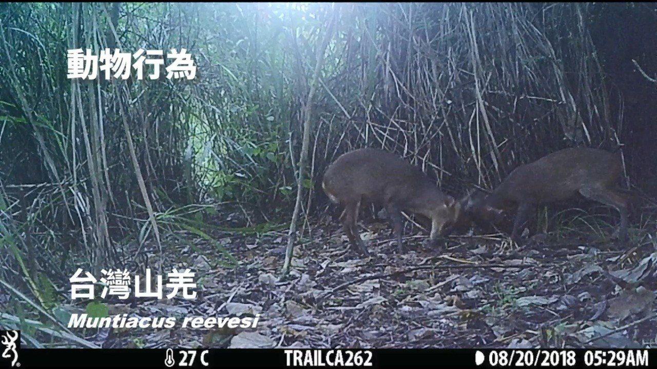 花蓮林管處在大農大富平地森林園區周邊的紅外線影像,記錄到山羌互頂的可愛模樣。圖/...