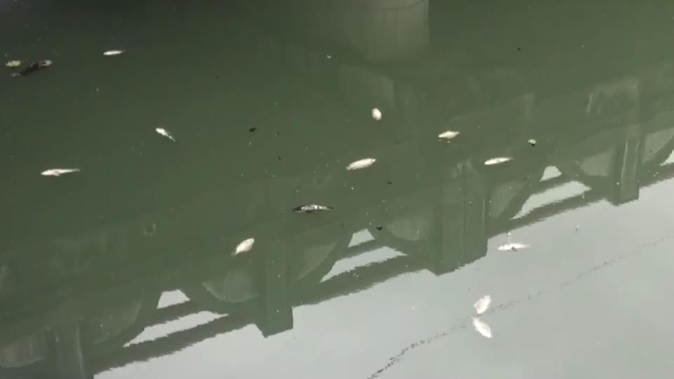 宜蘭縣礁溪鄉下埔排水在瓦窯橋段,昨天與今天陸續發現群魚暴斃,翻白肚浮出水面,估計...