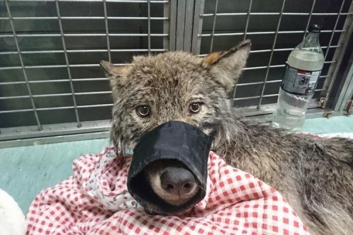 落入水中的狼被誤認為狗。取自EUPA