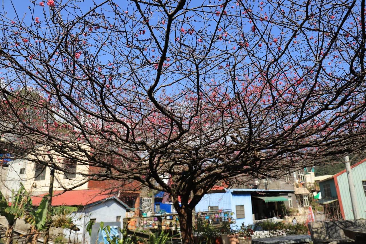暖冬打亂花期,屏東霧台櫻花季上月26日展開後,目前只開了約五成,樹形優美如傘、每...