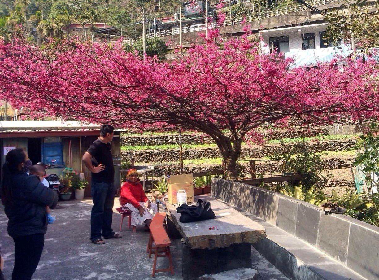 屏東縣霧台鄉杜姓村民在家中庭院種植1棵樹齡近60年的「櫻花王」,盛開時,花冠盛開...