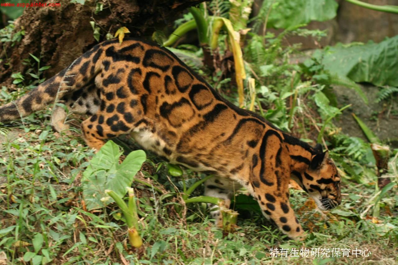 台灣雲豹已近一甲子不見蹤跡,圖為與台灣雲豹同科的亞洲雲豹身影。圖片來源/農委會特...