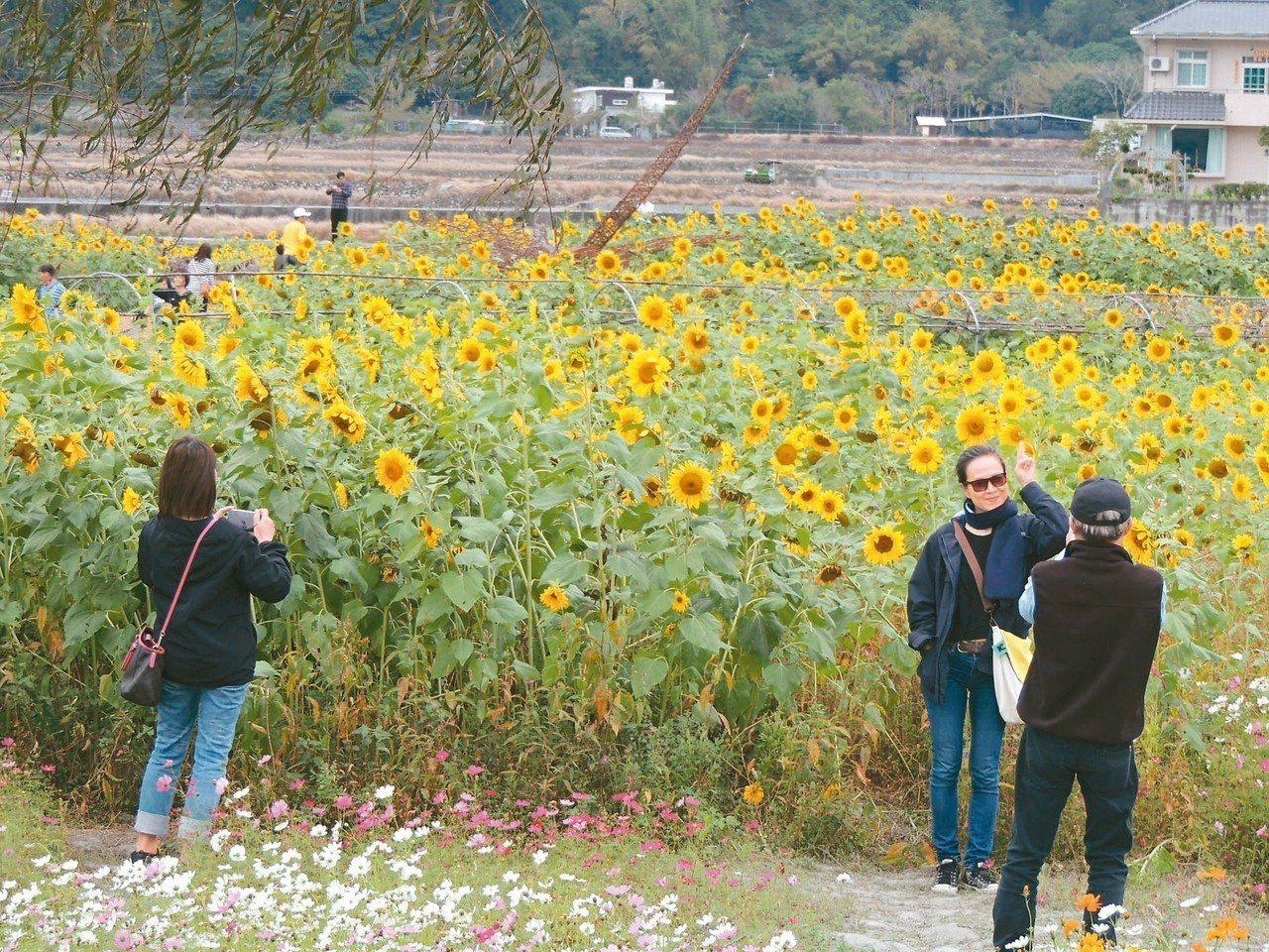 關山農會「米國學校」旁的向日葵花海依舊盛開怒放,儘管春節連假已結束,每天仍吸引不...