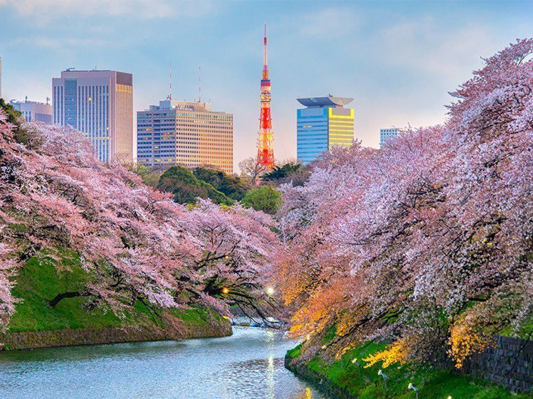 東京將會是全日本櫻花最早開花的城市。圖/易遊網提供