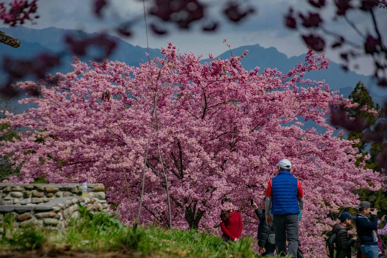 福壽山農場櫻花已陸續盛開,228連假期間前往正好可以見到櫻花落下美景。圖/摘自福...